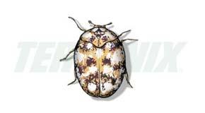 Escarabajo de las Alfombras