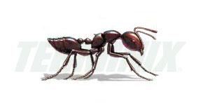 Hormiga Acróbata