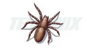 Araña Embudo