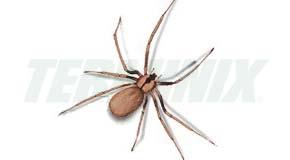 Araña Reclusa