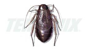 Cucaracha de la Madera-Hembra