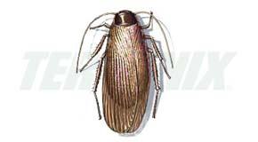 Cucaracha de la Madera-Macho