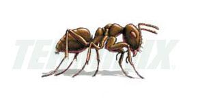 Hormiga de la Humedad
