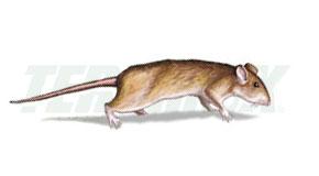 exterminar ratas en Panamá