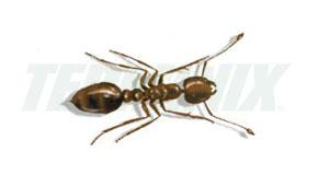 Hormiga del Asfalto