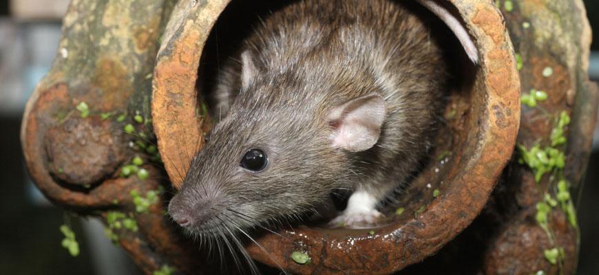 Servicios de control y exterminio de ratas en Panamá