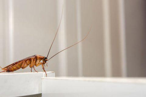 ¿Busca Exterminar cucaracha alemana, o mandiga, en Panamá?