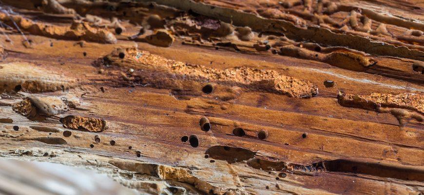 ¿Cómo eliminar los insectos que destruyen la madera?